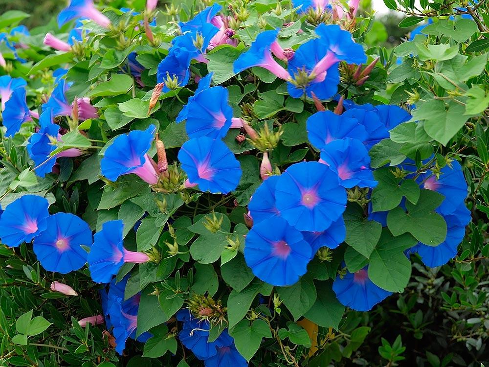Фото вьюнов цветы